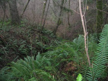 Sword Fern forest